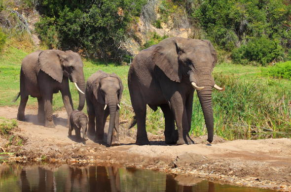 Elephant family walking to the waterhole.