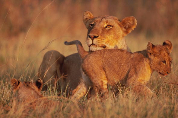 Lioness and her cub in Moremi Game Reserve.
