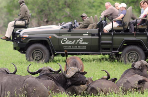 A herd of buffalo spotted on a Cheetah Plains game drive.