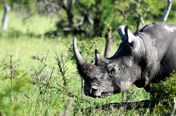 Free-roaming rhino in Sabi Sands Private Game Reserve.