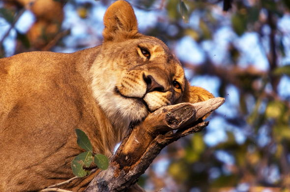 Lion in a tree in the Okavango Delta, Botswana.