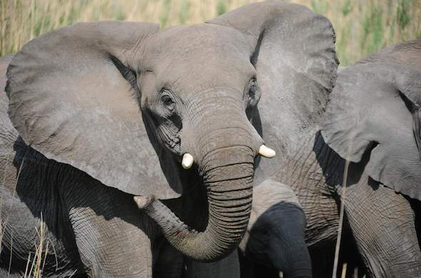 See Elephants in South Africa on your safari.