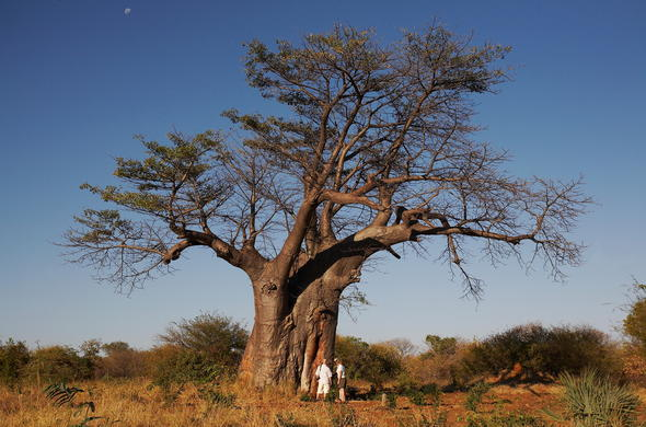 Learn about the Baobab Tree.