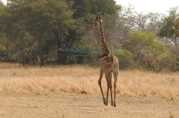 Giraffe sighting at Katavi Wilderness Camp.