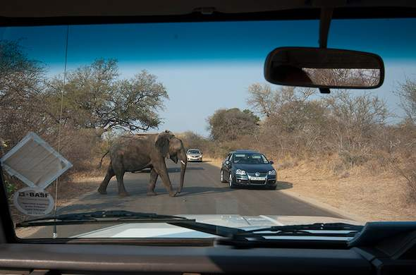 Elephant crossing the road in Kruger Park. South Africa