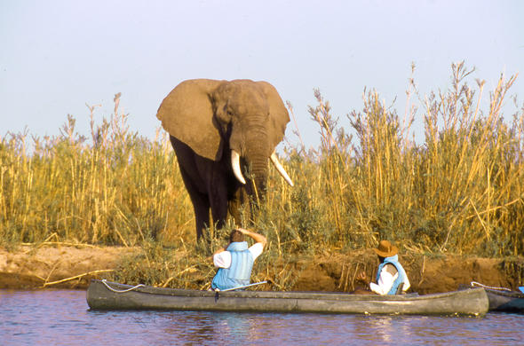 Elephant encounter. Lower Zambezi River