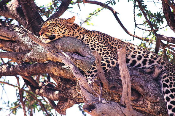 Leopard lurking in the tree.
