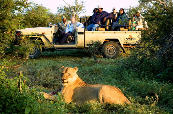 Guests on a game drive spot a Lion in Tuli.