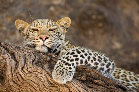 Leopard in Northern Tuli Game Reserve.