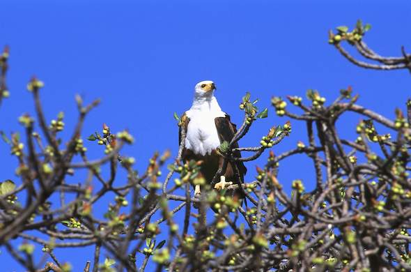 Fish Eagle spotted at the lodge.