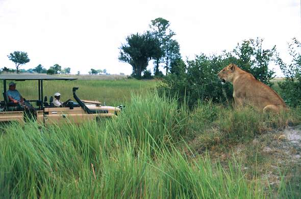 See a lion while on a guided game drive in Okavango Delta.