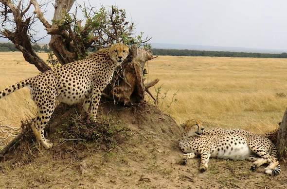 Cheetah couple lurking in Masai Mara.