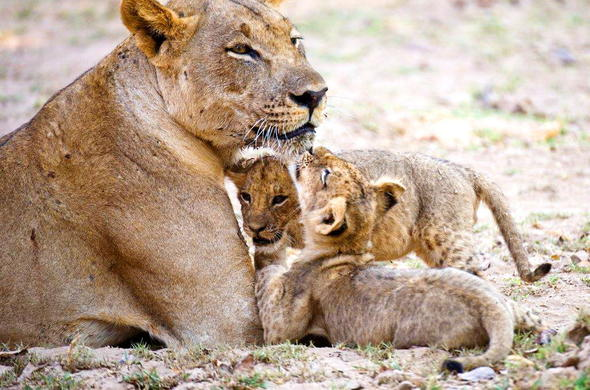 Lion family spotted in South Luangwa National Park.
