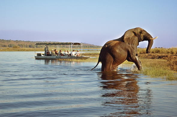 Watch elephant cross the Zambezi River on a boat safari.