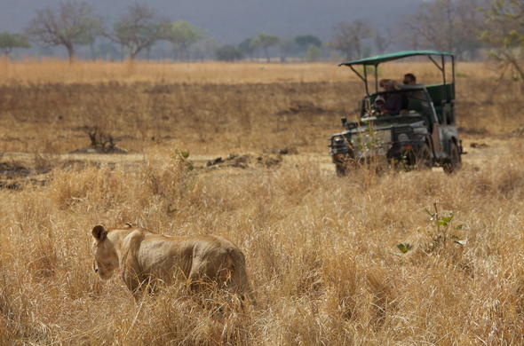 Lurking lion sighting on a game drive.