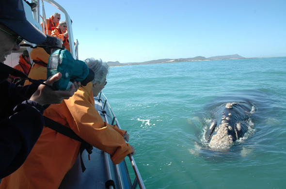 Whale Watching. Grootbos. South Africa