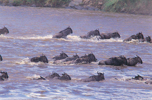 Wldebeest plunge across the Mara River. Mara Intrepids Camp
